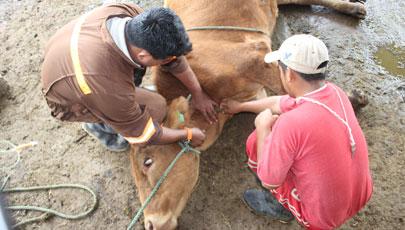 Técnicos toman muestra de sangre de ganado Bovino en Galápagos